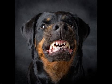 anjing terganas 15 anjing penjaga terkuat dan terbesar di dunia funnycat tv
