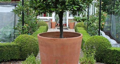 pianta di alloro in vaso coltivazione alloro alberi da giardino come coltivare