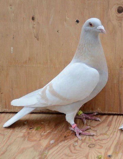 Pigeon 2 Pa pin tillagd av s s p 229 pigeon inspiration