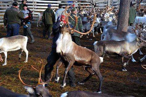 reindeer round up gerald zojer s blog