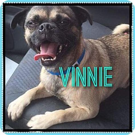 pugs in arizona pug chihuahua mix for adoption in arizona vinnie