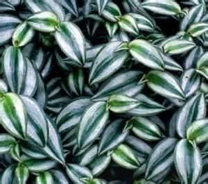 Tanaman Hias Tradescantia Silver jual bibit unggul tanaman tradescantia silver bibit