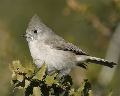 oak titmouse audubon field guide
