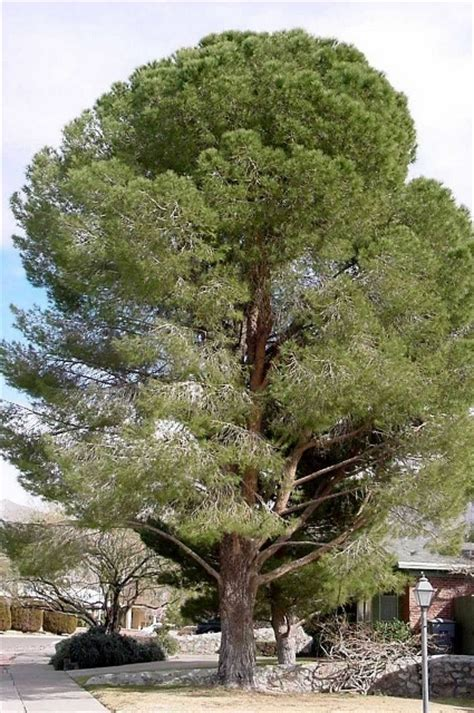 west texas nursery italian stone pine