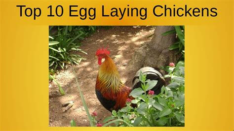 top  egg laying chickens youtube