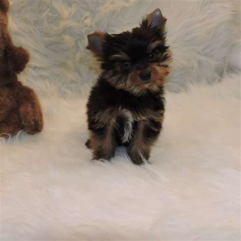 small yorkie small yorkie puppy for sale jacob teacup yorkies sale