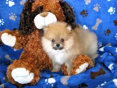 all about pomeranian puppies all puppy pictures all about puppies