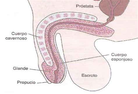 cuales son las partes del pene understand to learn sistema genitourinario masculino
