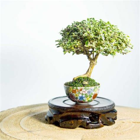 Bonsai Serisa 10759 Limited bonsai tree juniper squamata with deadwood free