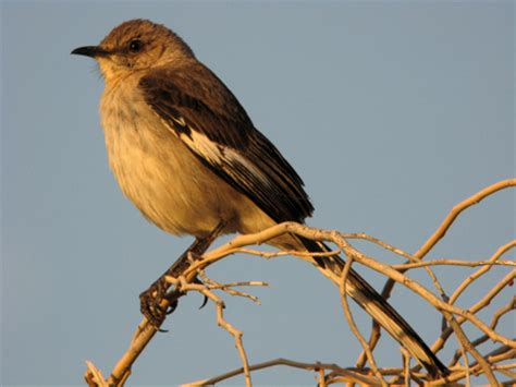 nwbirding mockingbird thrasher