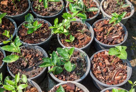 pianta limone in vaso cura limone propriet 224 e valori nutrizionali frutto della