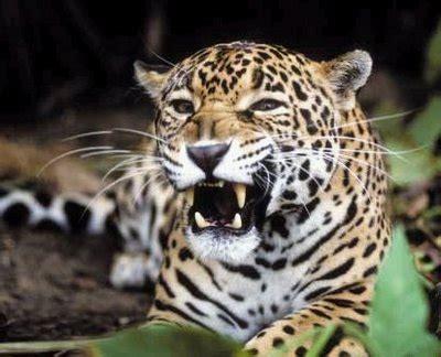 imagenes del multicitado jaguar jaguar panthera onca animal en peligro de extinci 243 n