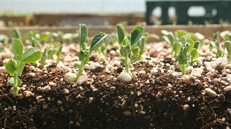 Starting A Garden From Seeds by Seed Starting 201 Seedling Care Light Transplanting