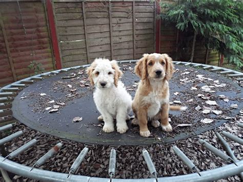 can puppies leave at 6 weeks cockapoos apricots 10 weeks huntingdon cambridgeshire pets4homes