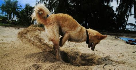 why do dogs dig holes why does my do that a closer look at canine quirks certapet