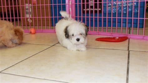 teacup yorkies for sale in columbus ga pug puppy for sale in columbus breeds picture