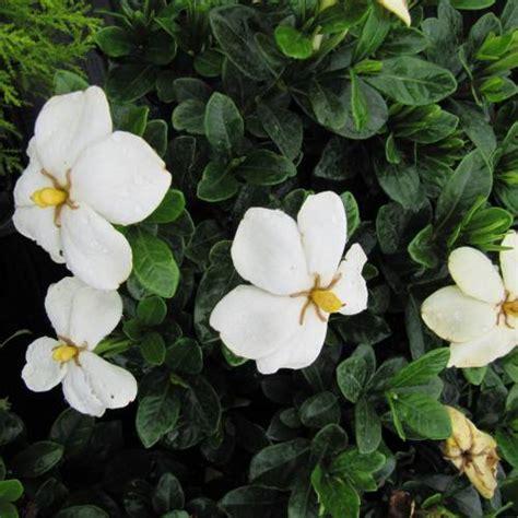 Gardenia Kleim S Hardy Pruning Gardenia Kleim S Hardy Buy Gardenia Kleim S Hardy
