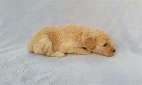 mini goldendoodles knoxville tn goldendoodle puppies for sale in knoxville tn golden