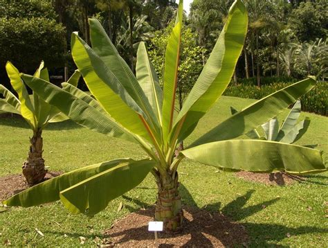 Bananenstaude Pflege by Ensete Ventricosum Cultivation Learn About False Banana
