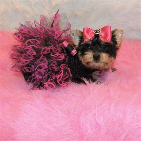 small yorkie puppies small terrier puppy for sale kassidy teacup yorkies sale