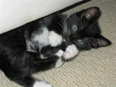 adoption bay area myra bay area cat rescue