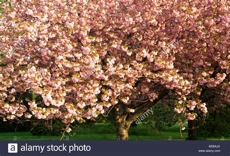 flowering shrubs canada canada ontario niagara falls japanese flowering cherry