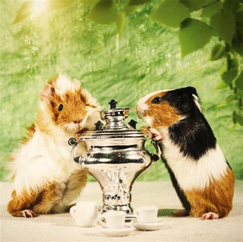 alimentazione porcellino d india alimentazione dei porcellini d india cuccioli e adulti