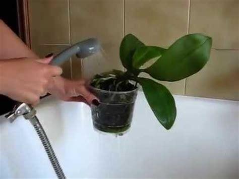 come si bagnano le orchidee come bagnare le orchidee