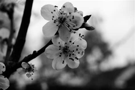 imagenes de flores a blanco y negro cereza blanco y negro flores 183 foto gratis en pixabay