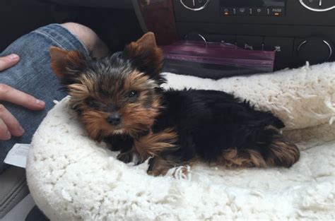 how many types of yorkies are there types of yorkies breeds breeds picture