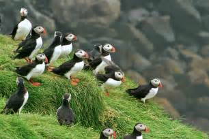 Dog Hunting Blind Iceland Summer 4 Puffins The Photonaturalist