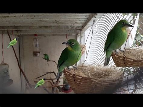 belajar ternak burung kacer cucak hijau di kandang penangkaran doovi