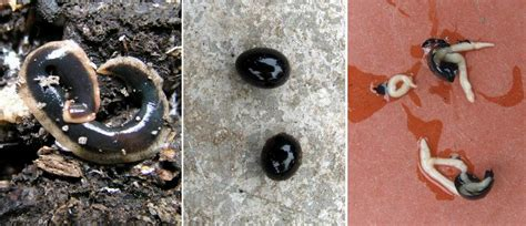 how to live with flatworm in a permaculture garden