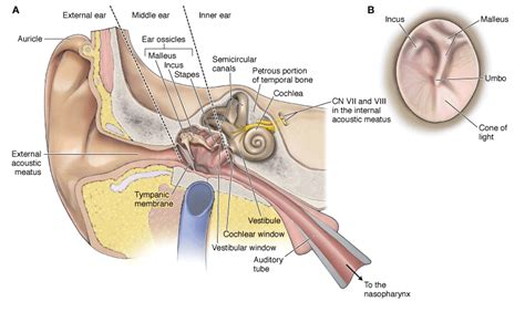image gallery ear nerves