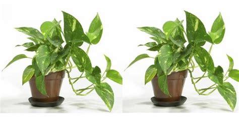 Pembersih Nasa nasa tanaman hias ini mu bersihkan udara dalam ruangan