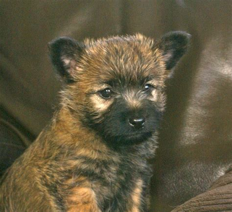cairn terrier puppies for sale cairn terrier puppies for sale taunton somerset pets4homes