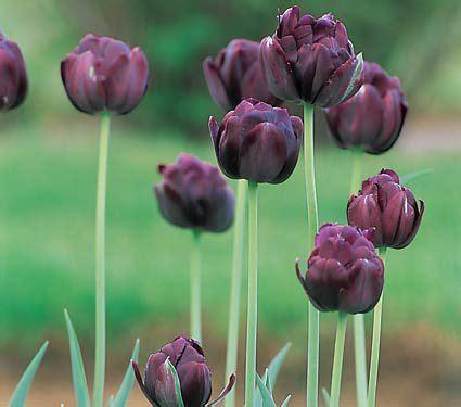 tulip black hero white flower farm