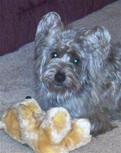 westie and yorkie mix yorkie mixed breeds breeds picture
