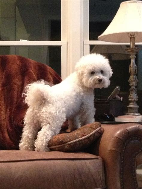 bichon frise poodle lifespan 704 best images about bichon frise on poodles