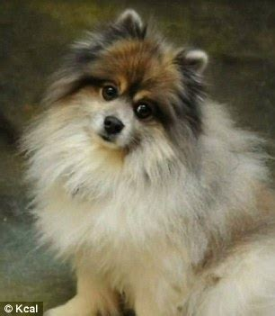 pomeranian attack mauled trying to save pomeranian from two pit bulls