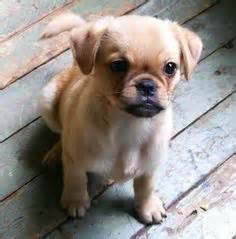 pug cavalier mix pugalier pug and king charles cavalier cross just the cutest thing puppy