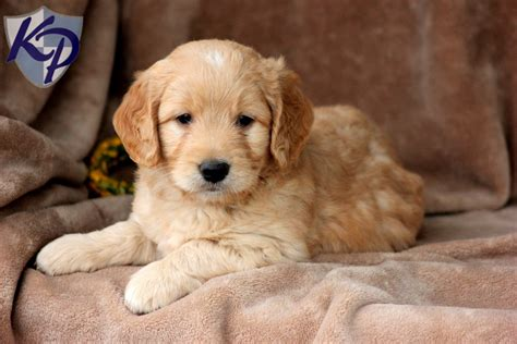 goldendoodle puppy for sale palmer miniature goldendoodle puppies for sale in pa
