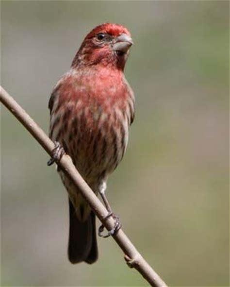 new hshire state bird purple finch outdoor birds