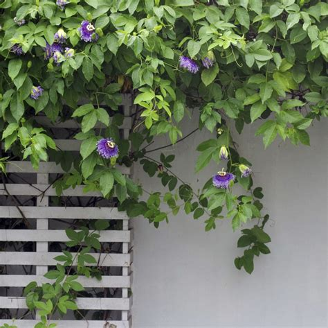 trimming passion vines when and how to prune a passion