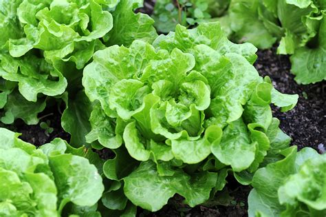 How To Lettuce From Your Garden by Vegetable Plant Spacing In A Container Harvest To Table