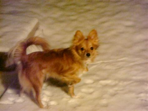 paperanian puppies paperanian papillon and pomeranian mix pictures and information