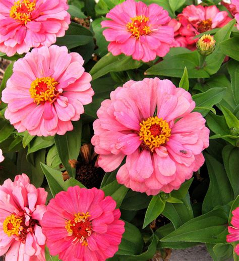 wallpaper zinnia flowers images zinnia profusion hd wallpaper and