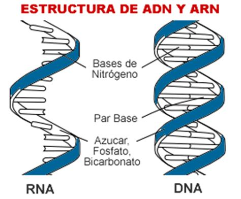 cantidad de cadenas del adn pruebas de paternidad por medio del an 225 lisis de adn