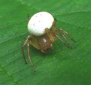 Garden Spider With White Bum White Spider Araniella Displicata Bugguide Net
