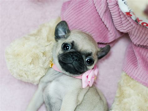 pics of teacup pugs teacup pug needs special care findthe pet
